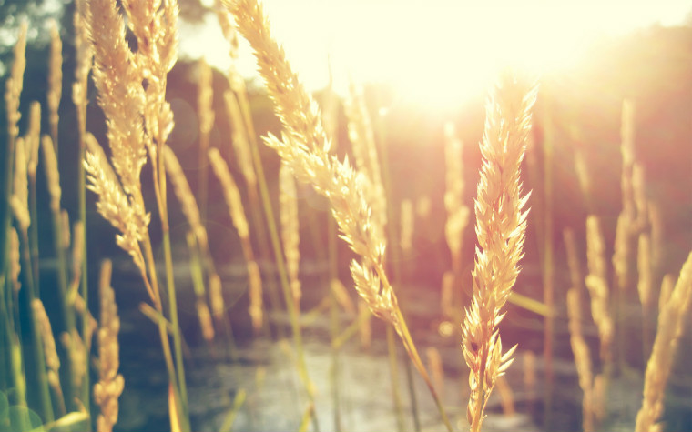 wheat-and-sun